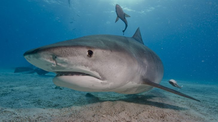 Tiger shark underwater photo