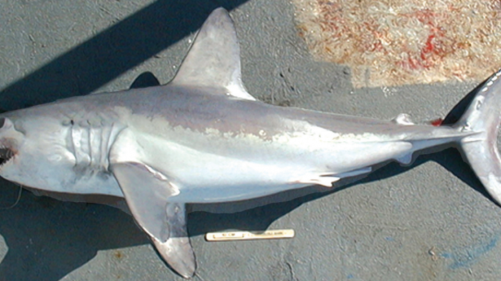 A Freshly Caught Porbeagle : One Of Many Endangered Sharks
