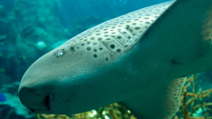 Zebra shark. Contrary to misconceptions about sharks, it's not dangerous