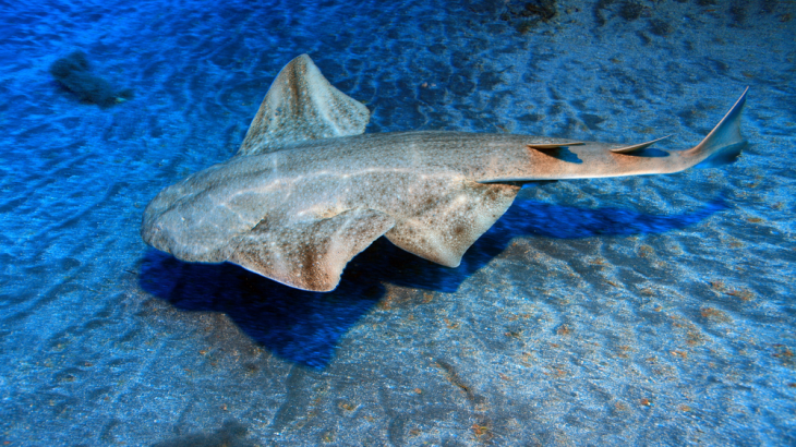 The Angelshark is critically endangered