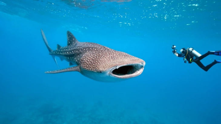 Picture of whale shark and diver by Project Aware. A shark conservation group